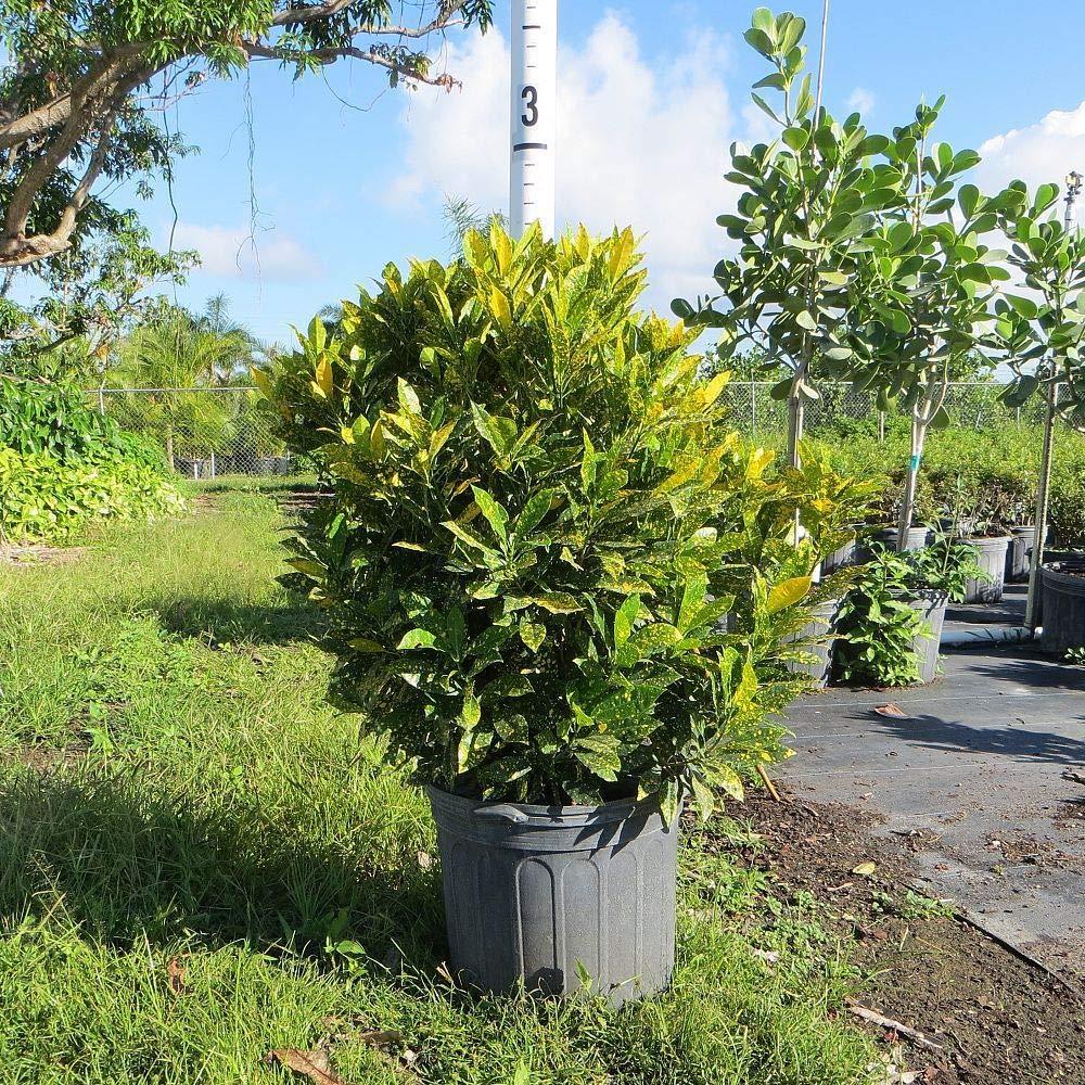 Croton Codiaeum variegatum Dust FERRY Graines Bio ne Pas Plantes 100 graines Glon