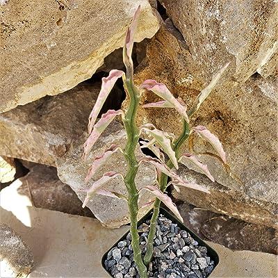 Pedilanthus tithymaloides Variegated Cactus Cacti Succulent Real Live Plant : Garden & Outdoor