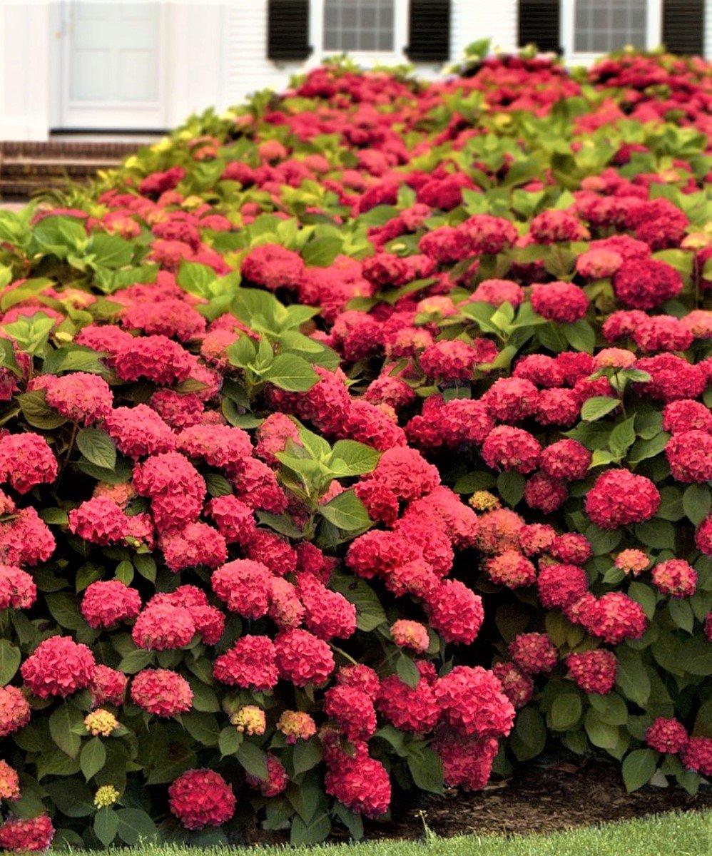 Amazon.com: Rojo Sensation próxima generación Hortensia ...