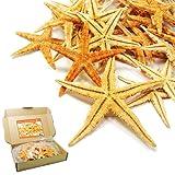 SEESTERN - MIX 20 er - Set echte Seesterne Deko - Starfish im Karton zum Dekorieren & Basteln (Natur)