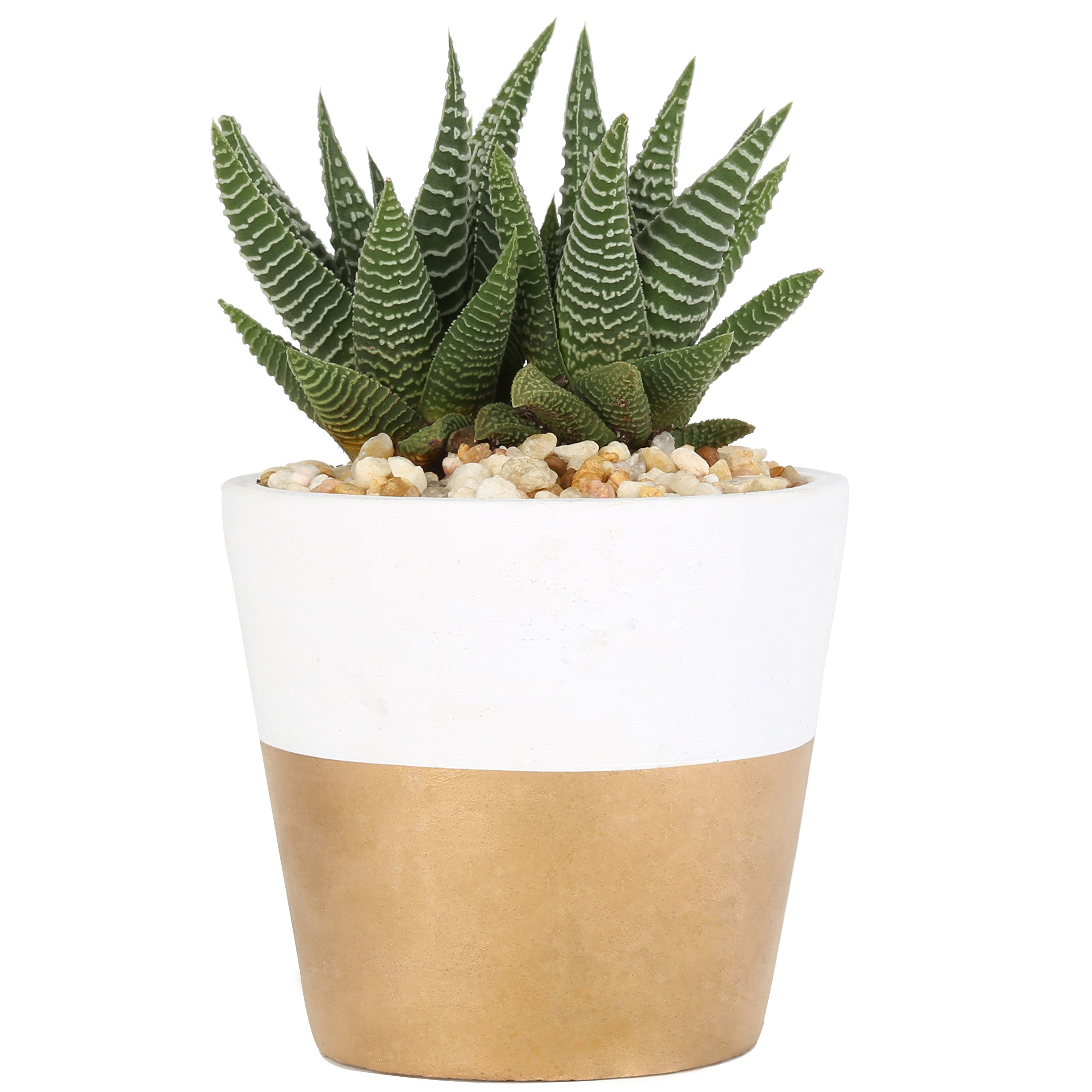 Costa Farms, Premium Live Indoor Succulent Plant, Haworthia, Shelf Plant, Two-Toned White & Gold Modern Ceramic Decorator Pot, Shipped Fresh from Our Farm, Excellent Gift
