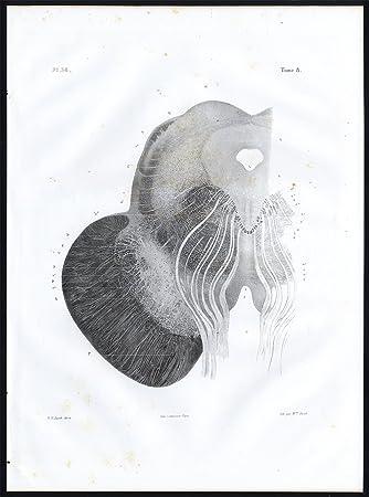 Amazon.de: Antik Anatomie print-microscopic-oculo Motor nerve ...