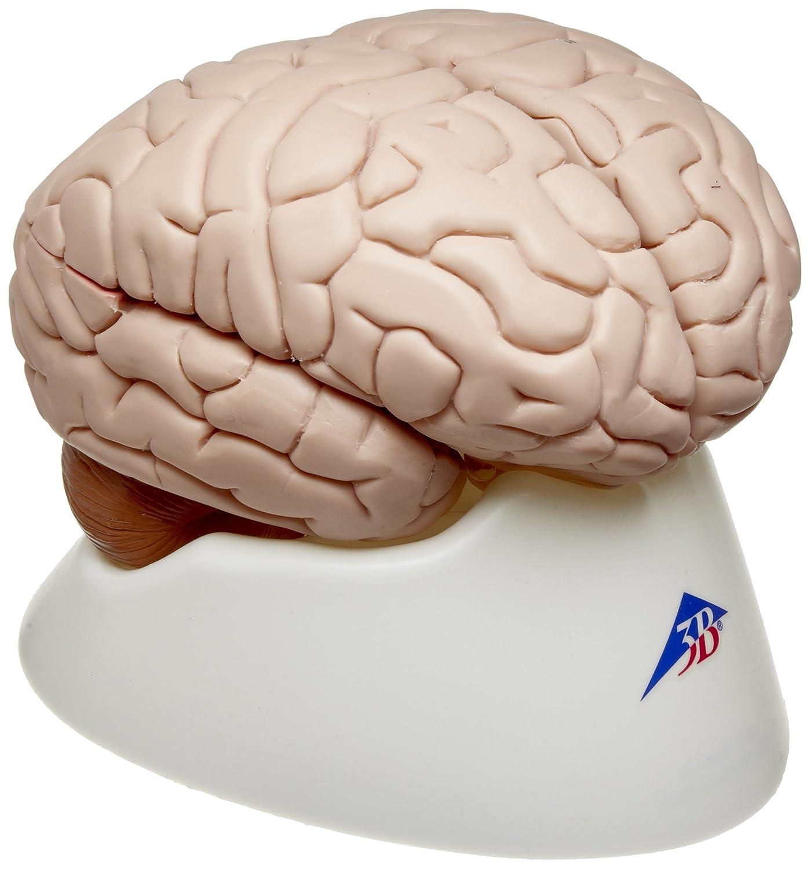 3B Scientific 8 Part Brain Model, 5.5\