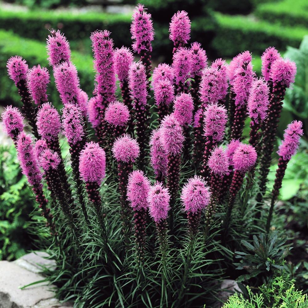 Liatris spicata purple 20 flower bulbs
