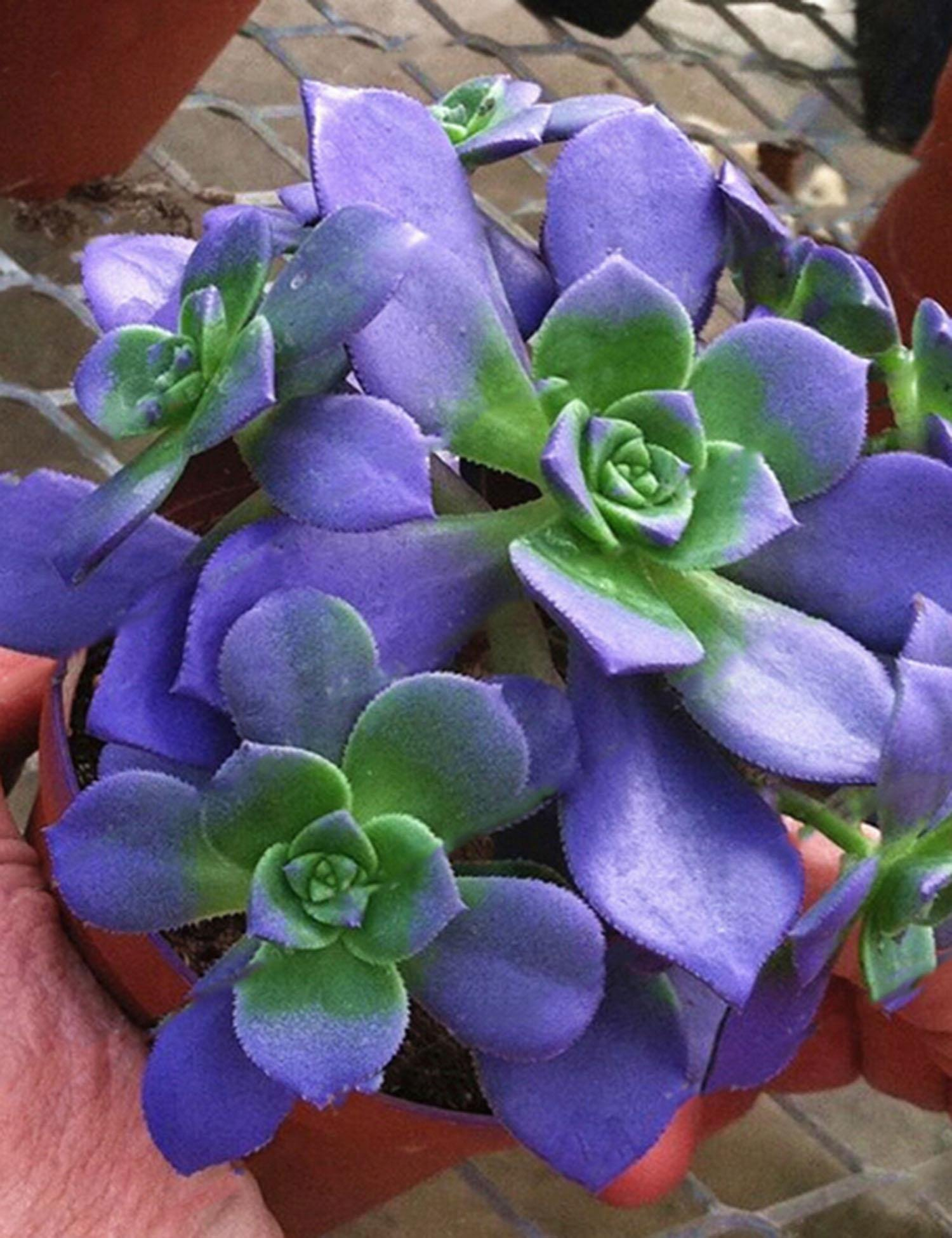Youcoco New Nice Adorable Flower Fragrant Blooms Succulents Jeweled Flower Seeds