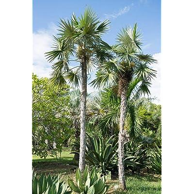 "Coccothrinax macroglossa/sp ""Azul"" Palm Tree Live Tropical Rare (3) Seedlings : Garden & Outdoor"