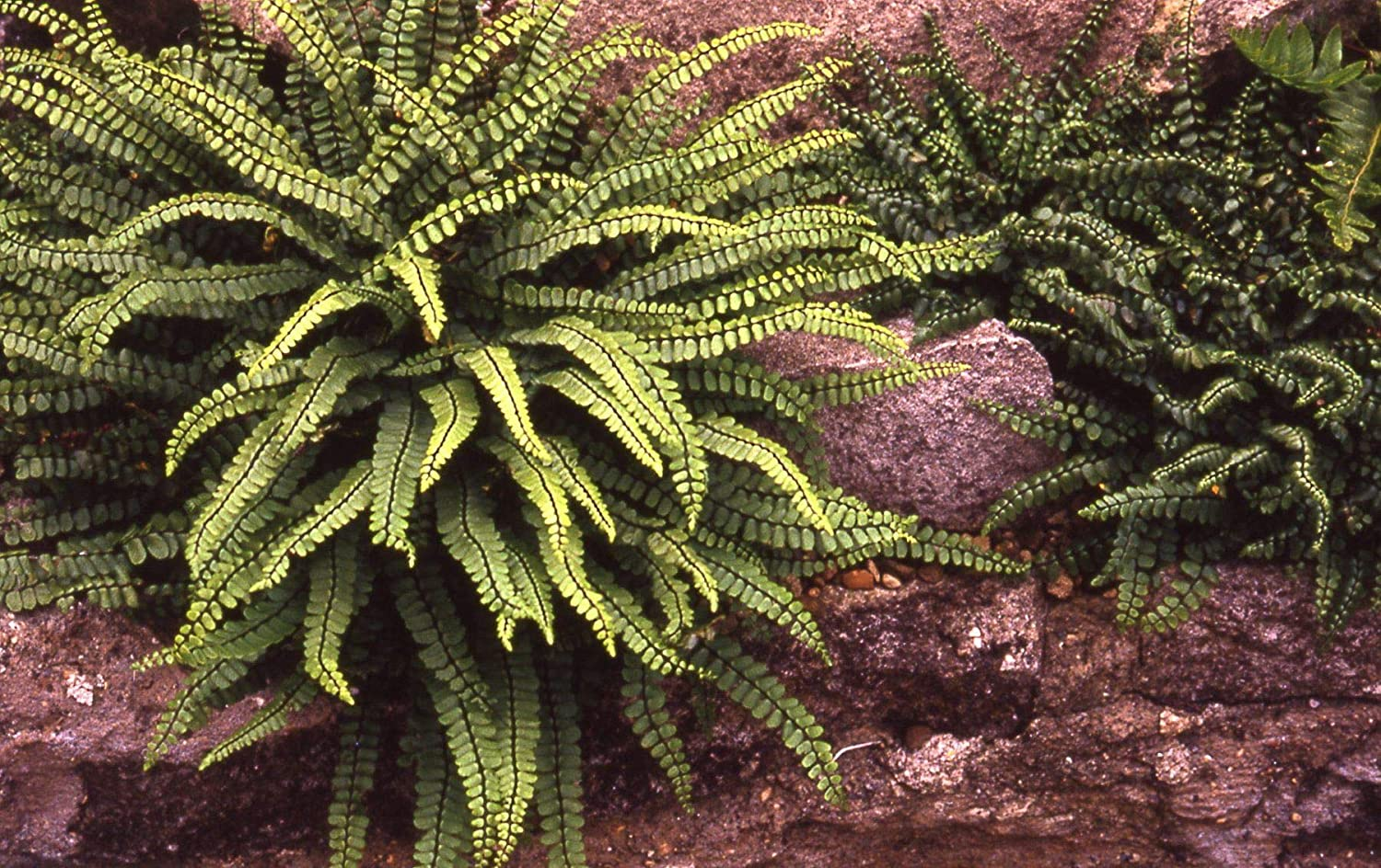 Asplenium Trichomanes - Maidenhair Spleenwort Fern, 3 Plants in 9cm Pots IR Plant and Garden Centre