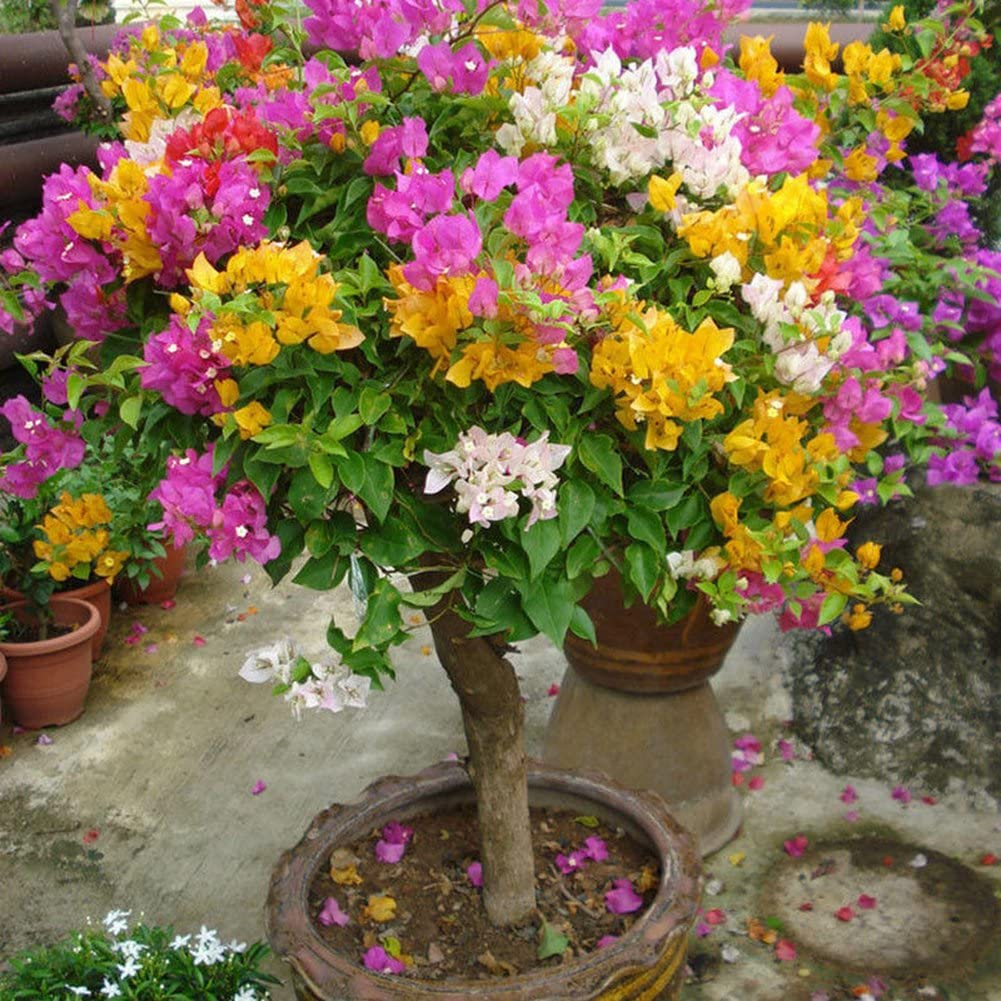 LOadSEcrs Garden 100Pcs Multicolor Bougainvillea Speetabilis Seeds Non-GMO Ornamental Plants Yard Office Decoration Open Pollinated Seeds