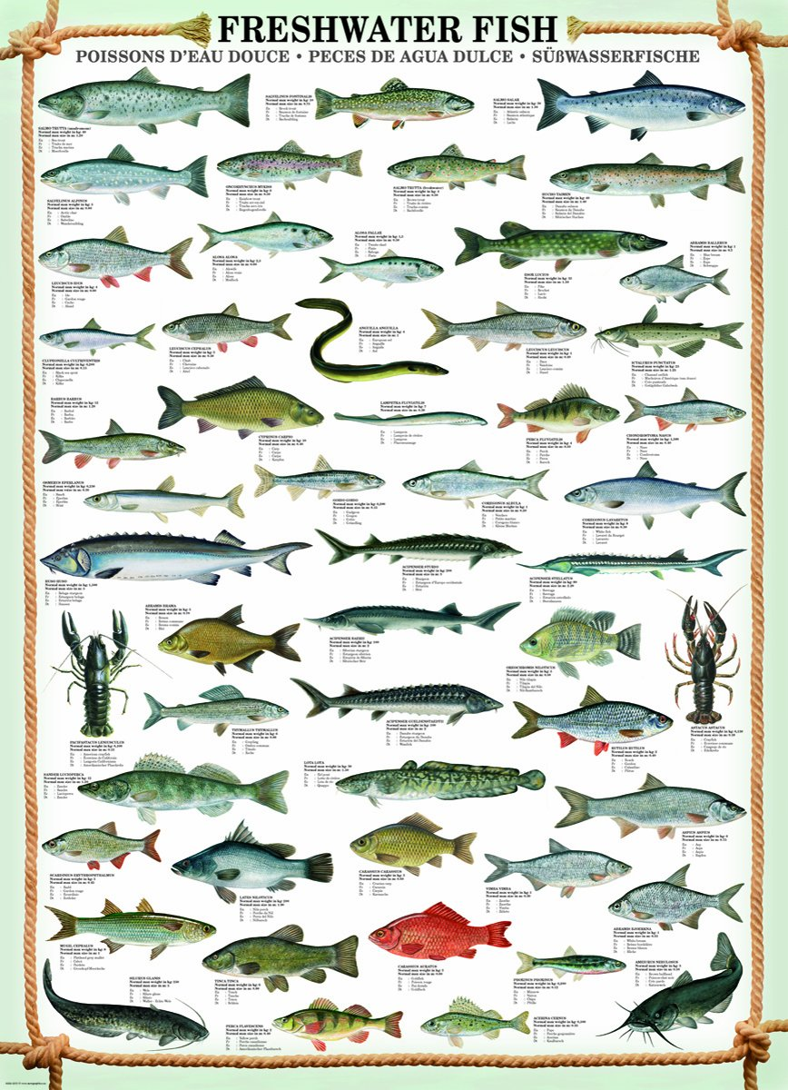 Freshwater fish england - Eurographics Freshwater Fish Puzzle 1000 Pieces Amazon Co Uk Toys Games