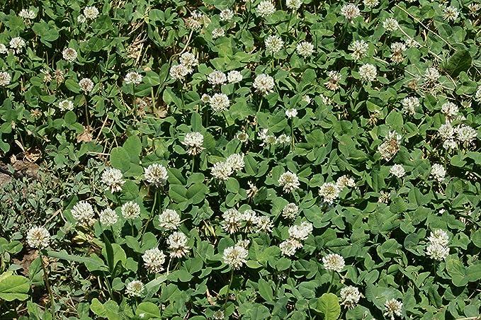 GEOPONICS semilla blanca holandesa del trébol * * cubierta de ...
