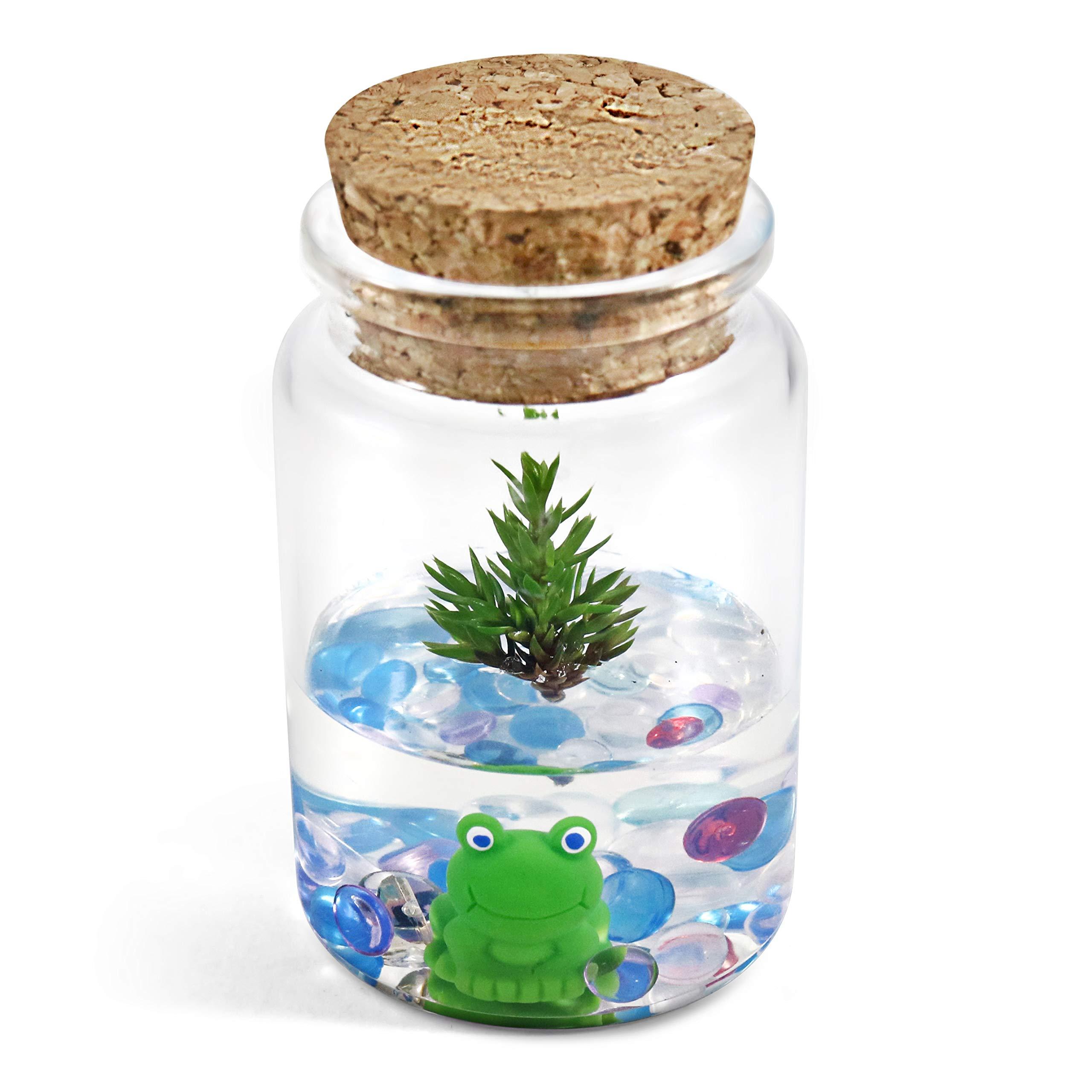 Bonsai Terrarium: Dwarf Japanese Garden Juniper, 3'' Jar, Real Live Plant, Maintenance Free