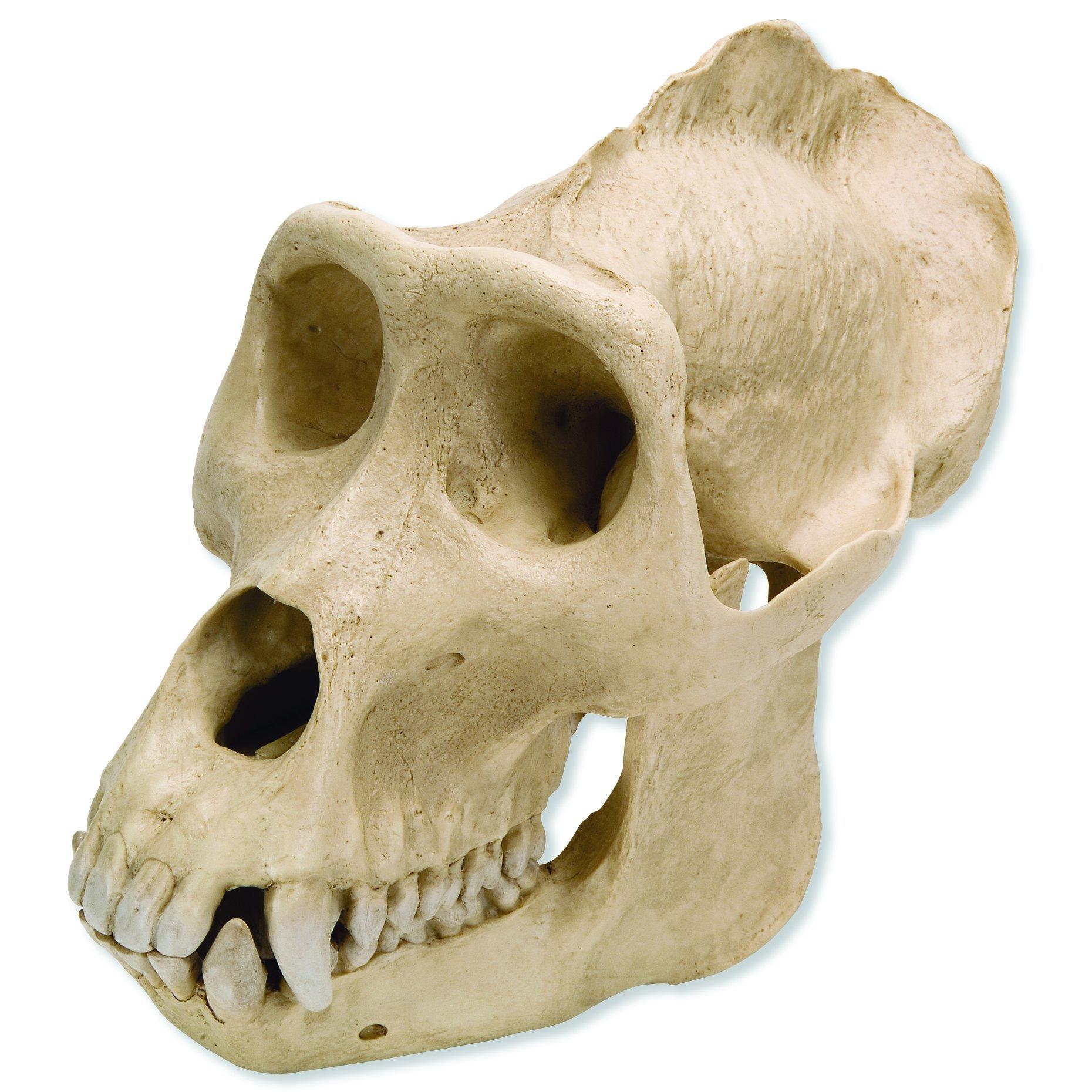 3B Scientific VP762/1 Plastic Male Gorilla Skull (Gorilla gorilla), 10.2'' x 6.5'' x 7.7''