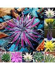 pittospwer 100 Pezzi di Semi di Aloe Vera rari succulenti Erbe Balcone Giardino pianta da Bonsai in Vaso