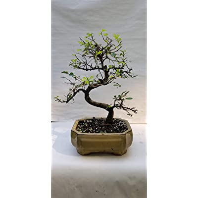 Finished Bonsai Fukien Tea Tree, Attractive Shape, Small White Flowers, Attractive Grey Bark in a Classic 5 inch Ceramic Pot: Garden & Outdoor