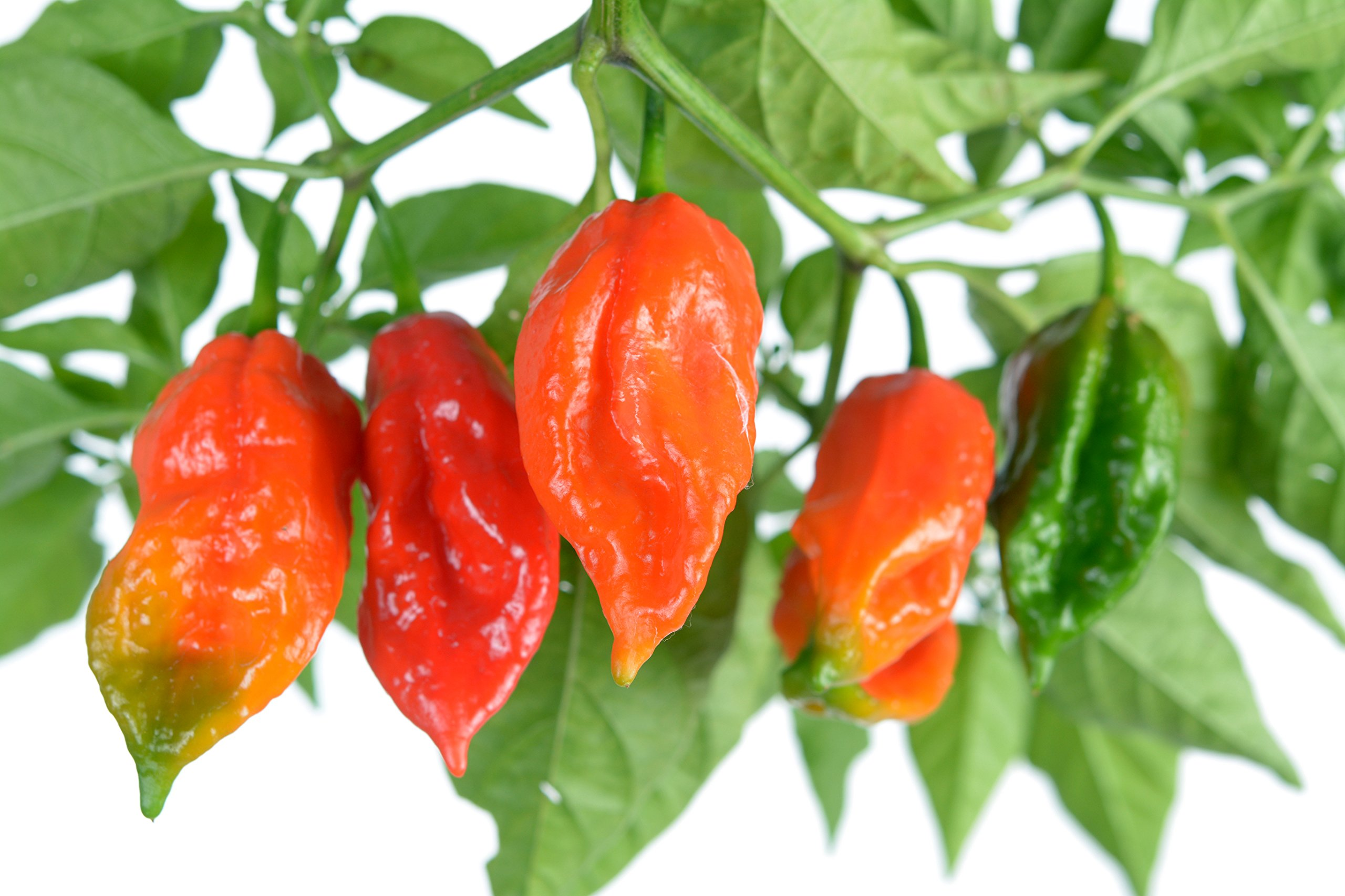 Clovers Garden Ghost Pepper Plants - NON-GMO - Two (2) Live Plants – Not Seeds , Premium Non-GMO , Bhut Jolokia , Not Seeds , ea 3-7'' Tall in 3.5'' Pots