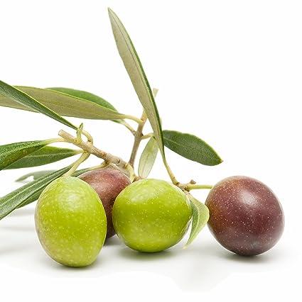 Amazon.com: Árbol de oliva arbequina – Live Planta Olea ...