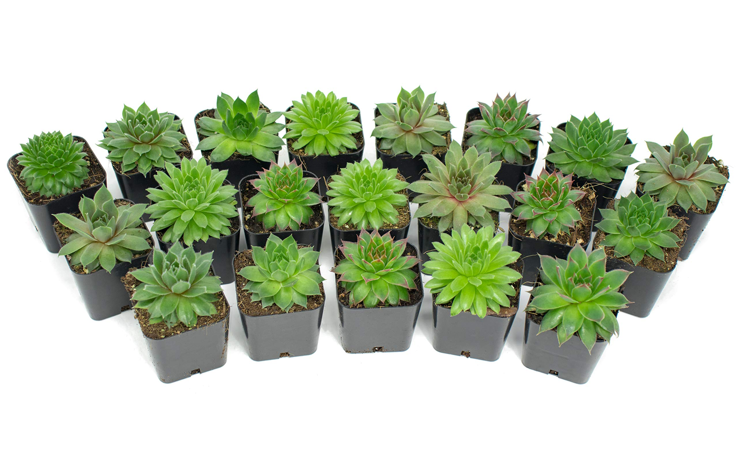 Succulent Plants | 20 Sempervivum Succulents | Rooted in Planter Pots with Soil | Real Live Indoor Plants | Gifts or Room Decor by Plants for Pets