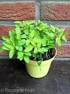Rotes Basilikum im Topf Pflanze Frisches Basilikum aus nachhaltigem Anbau