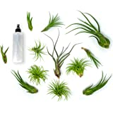 12 Air Plant Variety Pack - Large Tillandsia Terrarium Kit with Spray Bottle Mister for Water / Fertilizer - Assorted Species of Live Tillandsias, 4 to 10 Inch Indoor House Plants by Aquatic Arts