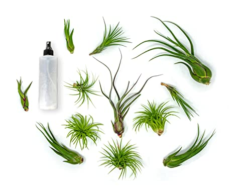 Amazon Com 12 Live Air Plant Variety Pack Large Tillandsia