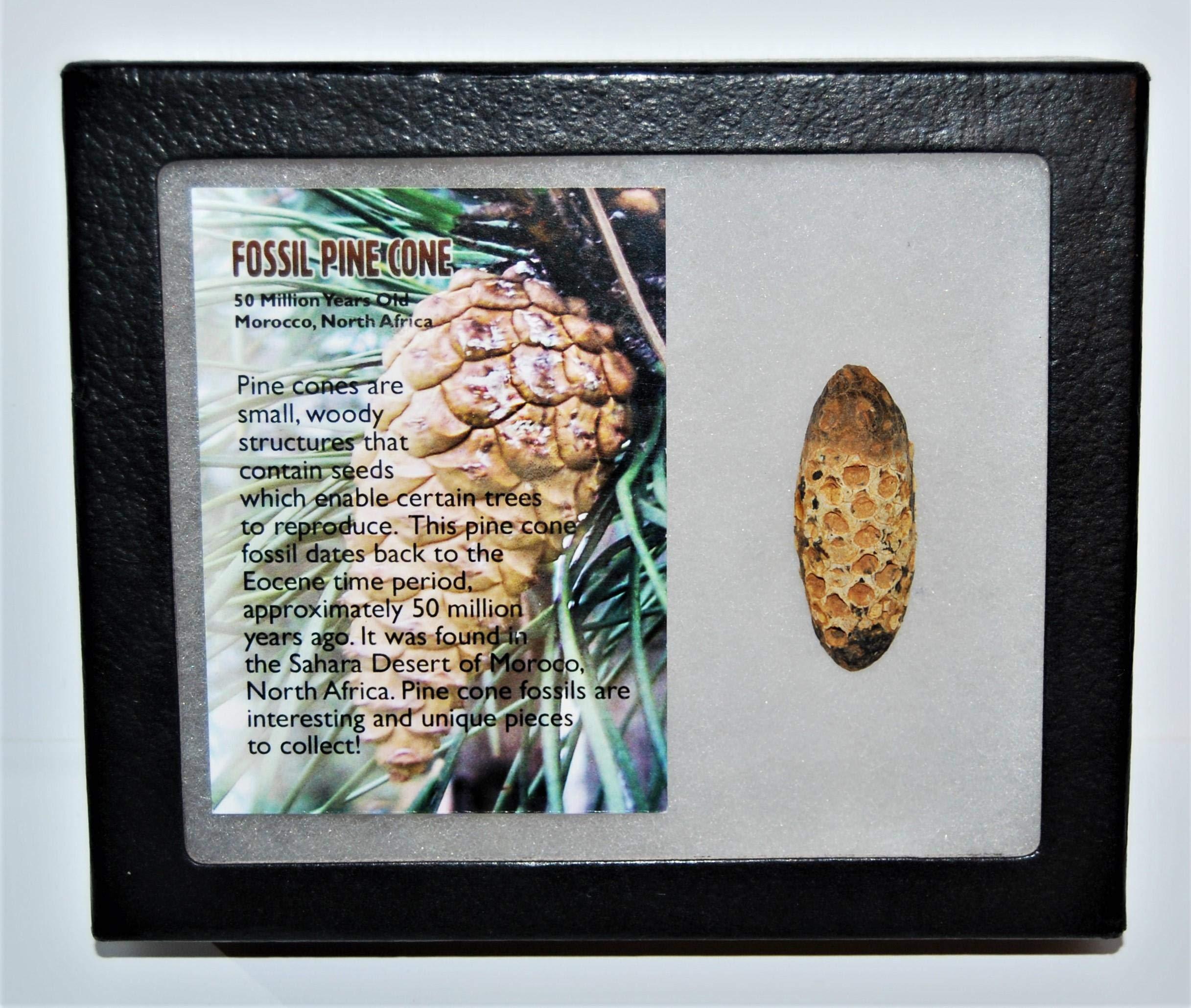 Pine Cone Fossil w/ Display Box LDB 50 Million Yrs Old COA #14041 13o