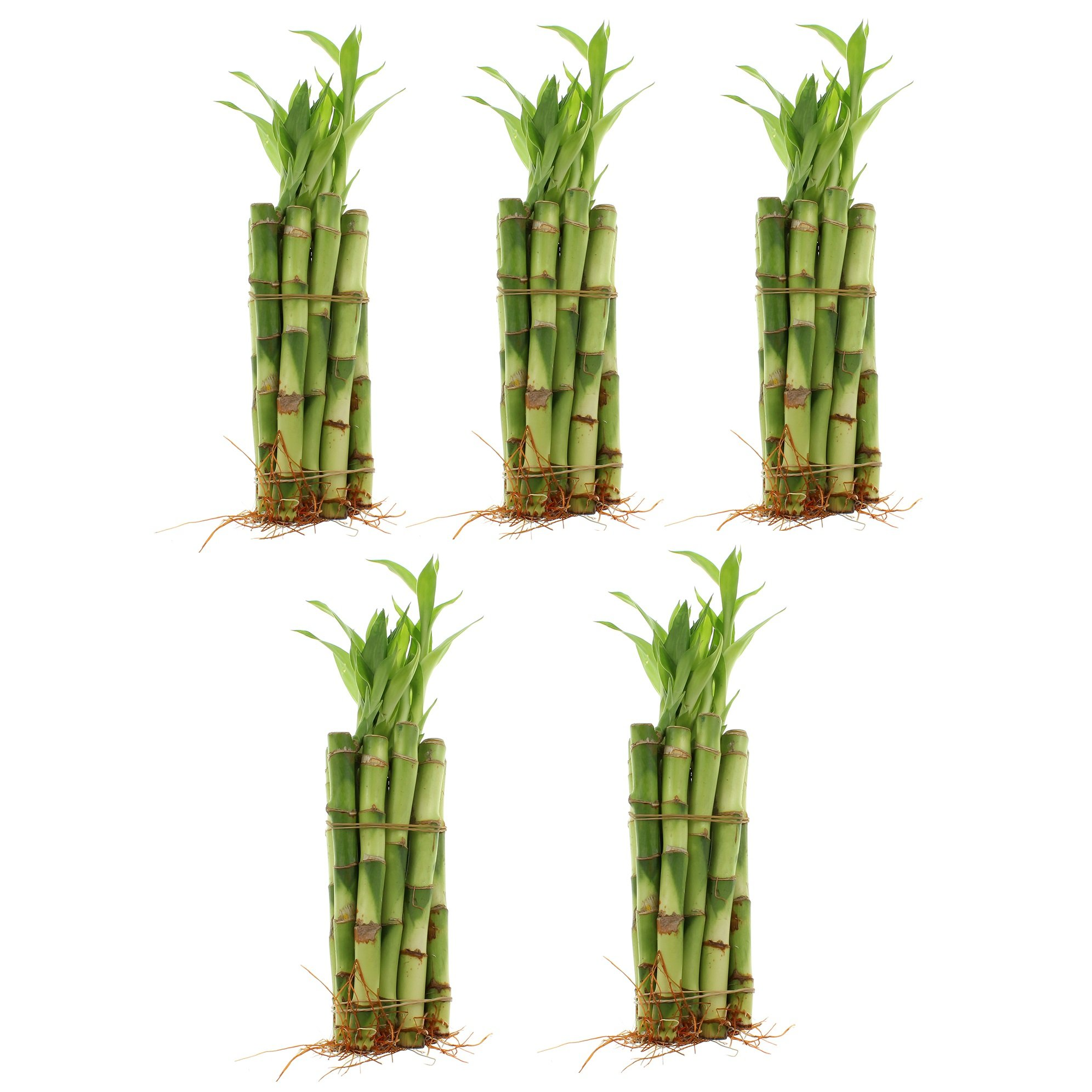 NW Wholesaler - 6'' Straight Lucky Bamboo Stalk (50)