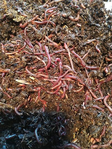 lombriz roja Californiana 100 UDS seleccionadas a mano + 1/2 litro ...