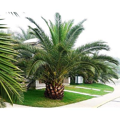 Pineapple Palm Phoenix canariensis Ornamental tree / bonsai - Tree Seeds (5) : Garden & Outdoor