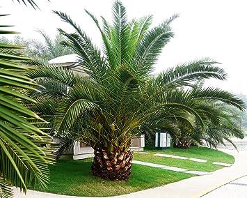 Wonderful Pineapple Palm 5 Seeds Phoenix Canariensis Ornamental Tree