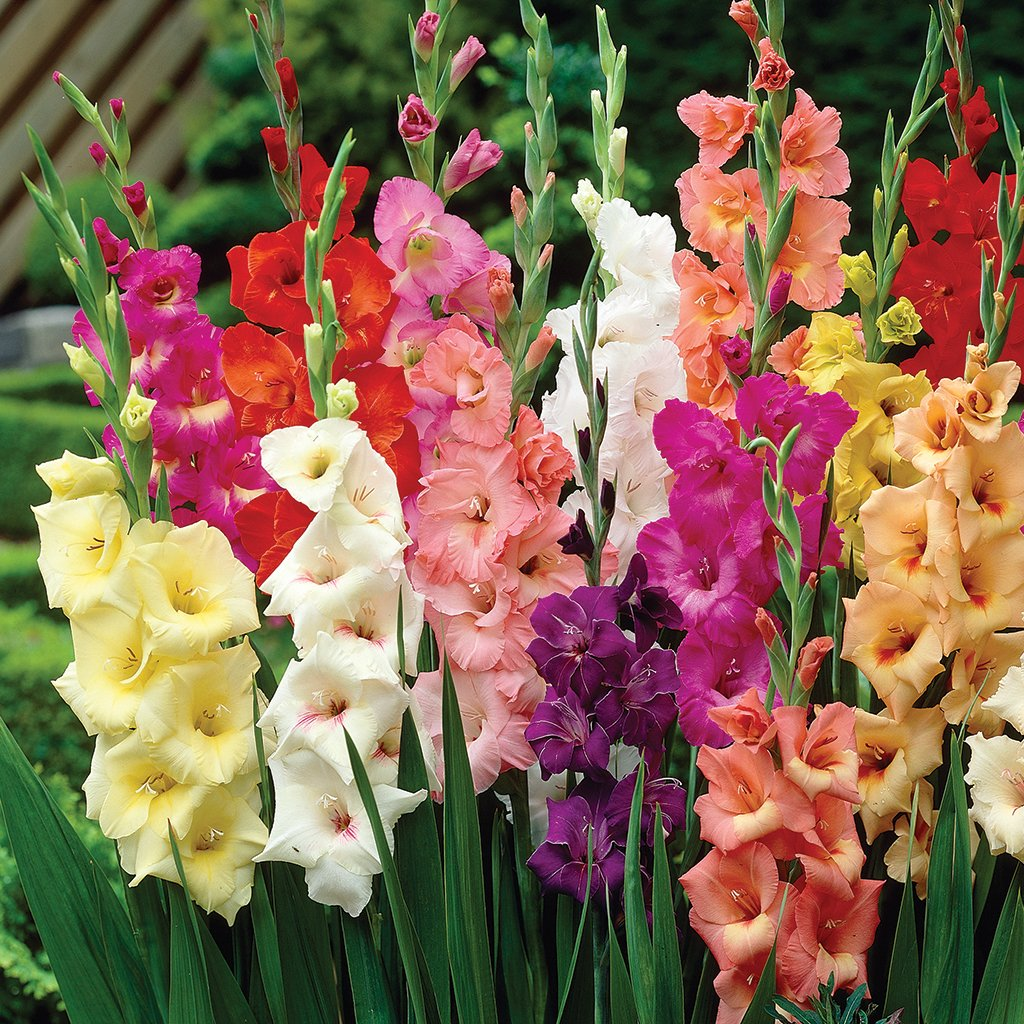Van Zyverden Colossal Large Sized Flowering Rainbow Mixed Gladiolus Bulbs (Set of 12) by VAN ZYVERDEN (Image #1)