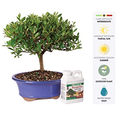 "Brussel's Live Gardenia Outdoor Bonsai Tree - 5 Years Old; 8"" to 10"" Tall with Decorative Container & Bonsai Pro Fertilizer: Garden & Outdoor"