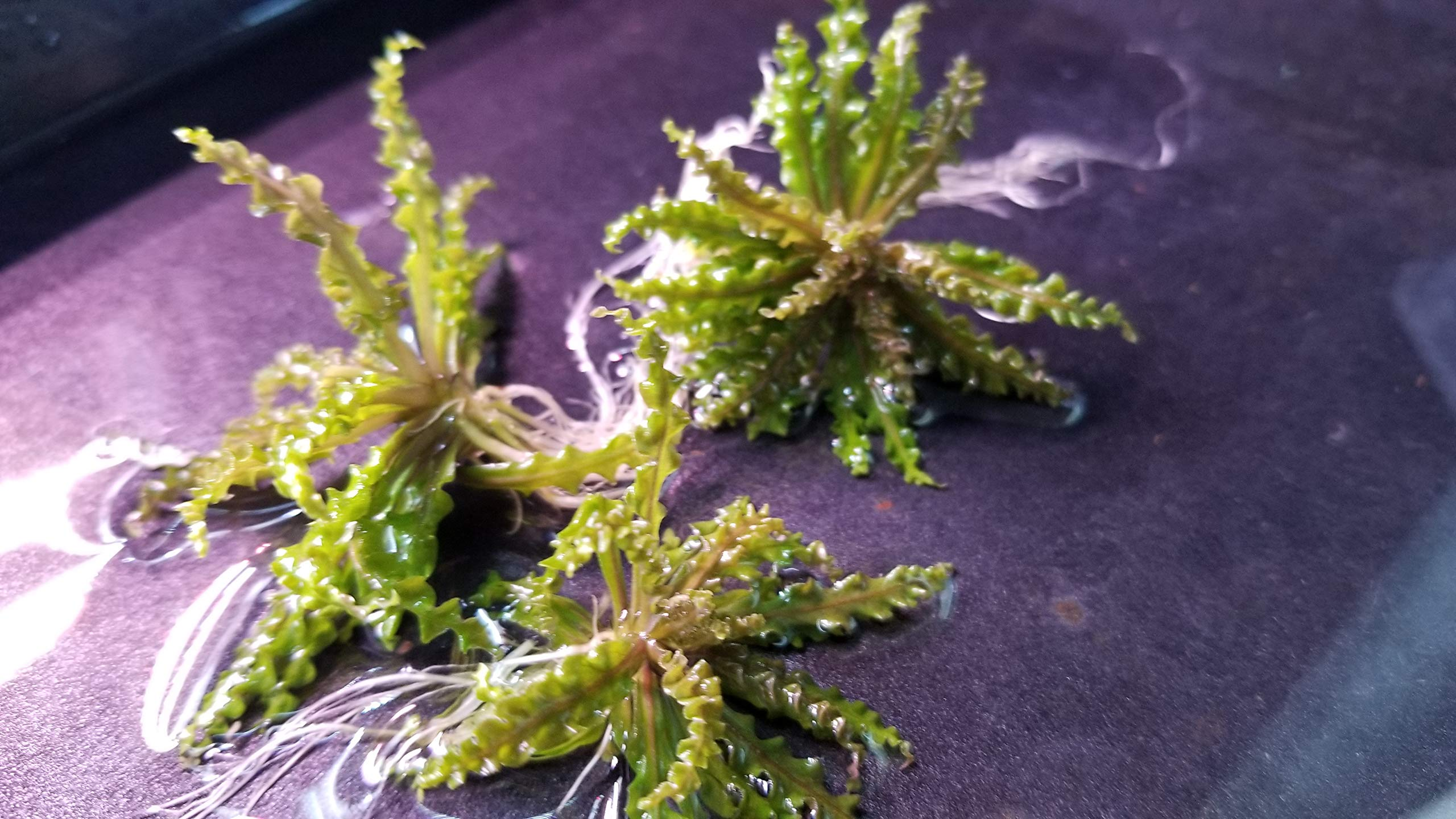 Pogostemon Helferi Downoi Red, Rare, Small + Free See Description, Live Aquarium Plants by Pearlingplants