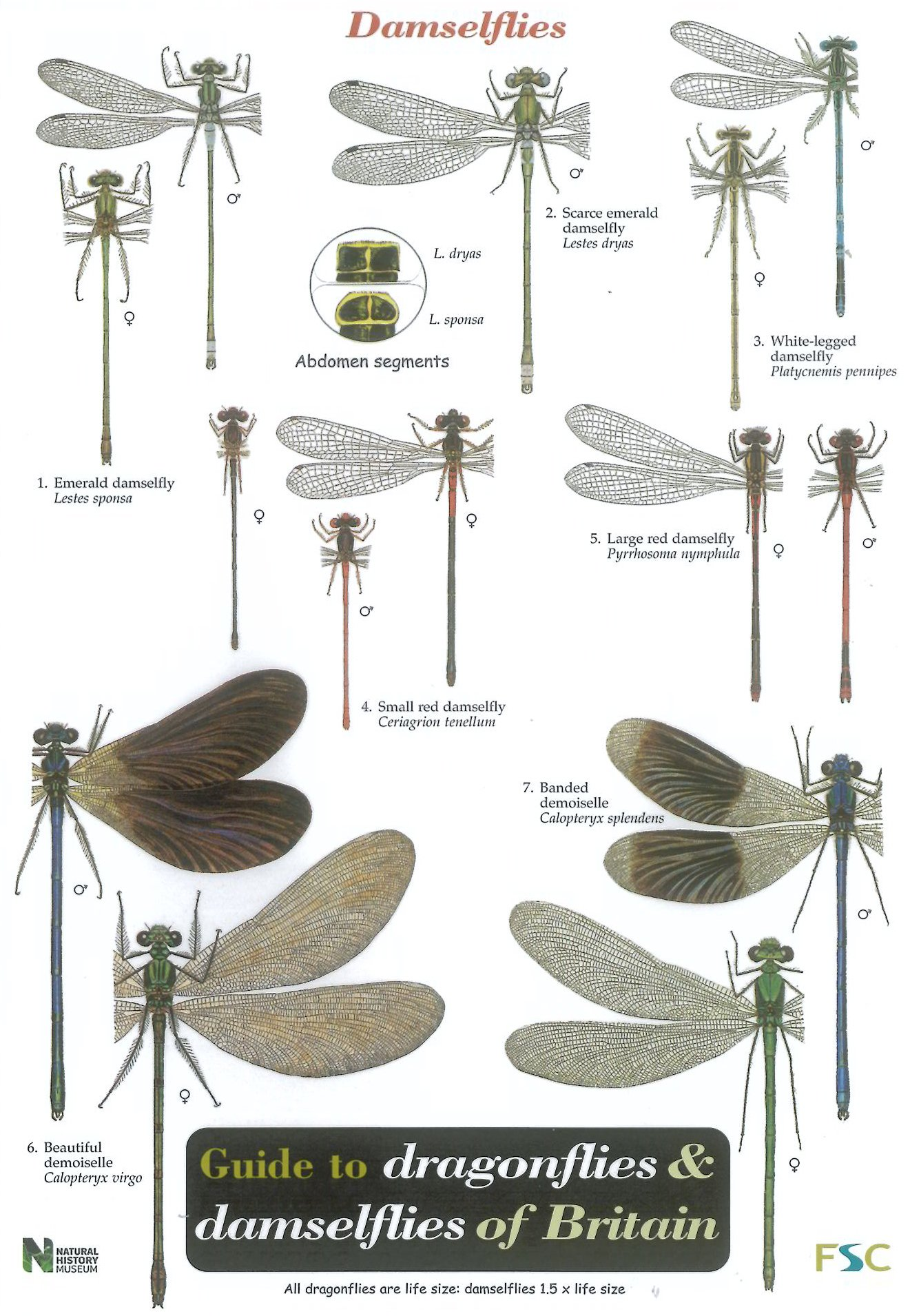 damsel fly life cycle related keywords damsel fly life
