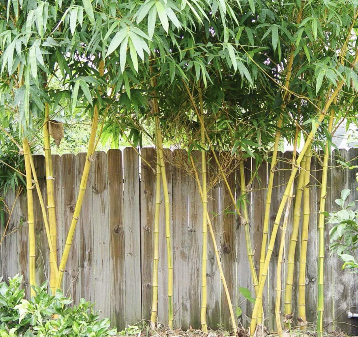 Amazon.com: Grasas ornamentales de bambú gruesas de pared ...