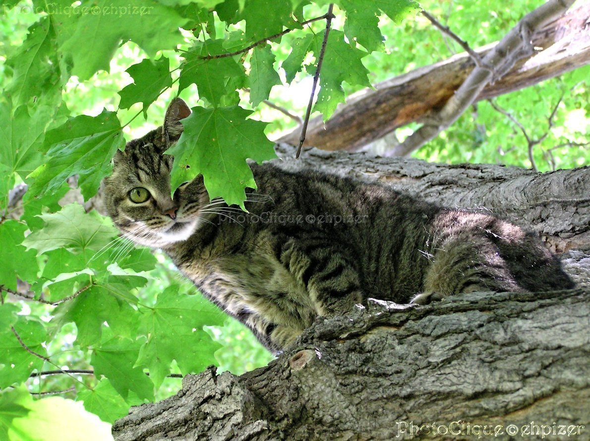 Peek-a-Boo / Mischievous Tabby Cat in Tree / Feline Animal Portrait / Fine Art Photography Print