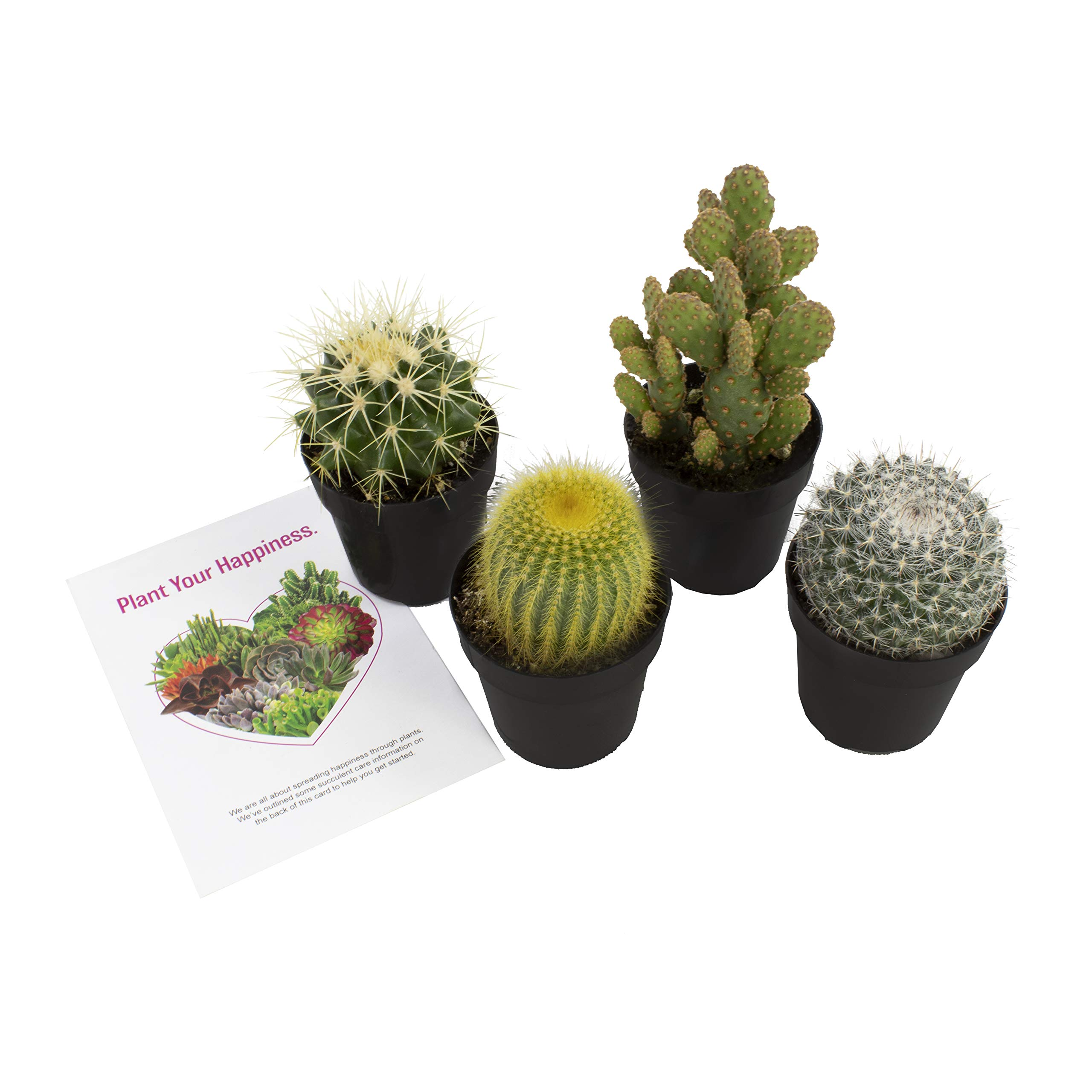 Altman Plants Assorted Live Cactus Collection mini for planters or gifts, 2.5'', 4 Pack by Altman Plants (Image #2)