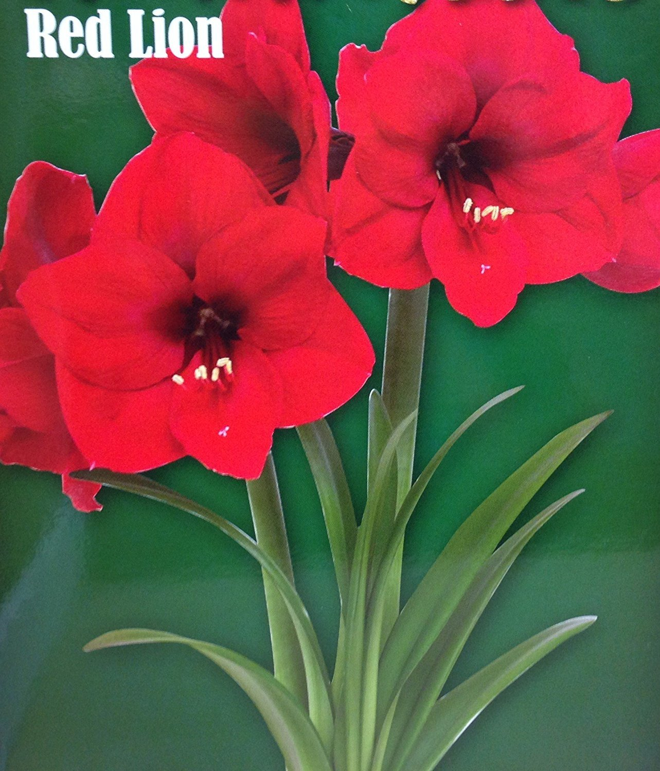 Amaryllis 3 1/8-in Flower Bulb - Red Lion (Individually Wrapped Box)