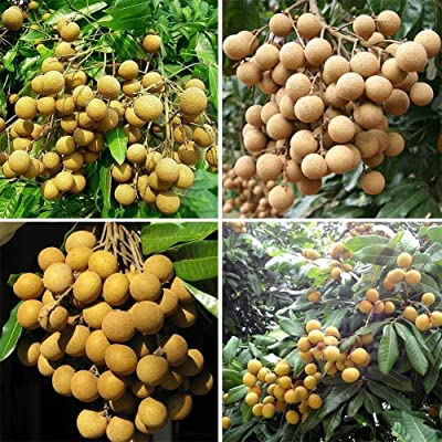 10pcs Longan Seeds Fruit Seeds Tasty Dragon Eyes Exotic Bonsai Potted Plant Bonsai DIY Plant Home Garden : Garden & Outdoor