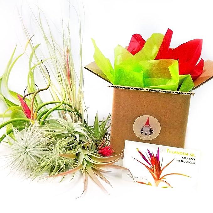 The Drunken Gnome Air Plants Brachycaulos Multiflora 3 Pack