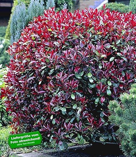 Gemeinsame BALDUR-Garten Photinia-Hecke 'Red Robin', 5 Pflanzen @VC_27