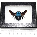 6x7 Uncommon Blue Carpenter Bee Taxidermy Xylocopa Caerulea