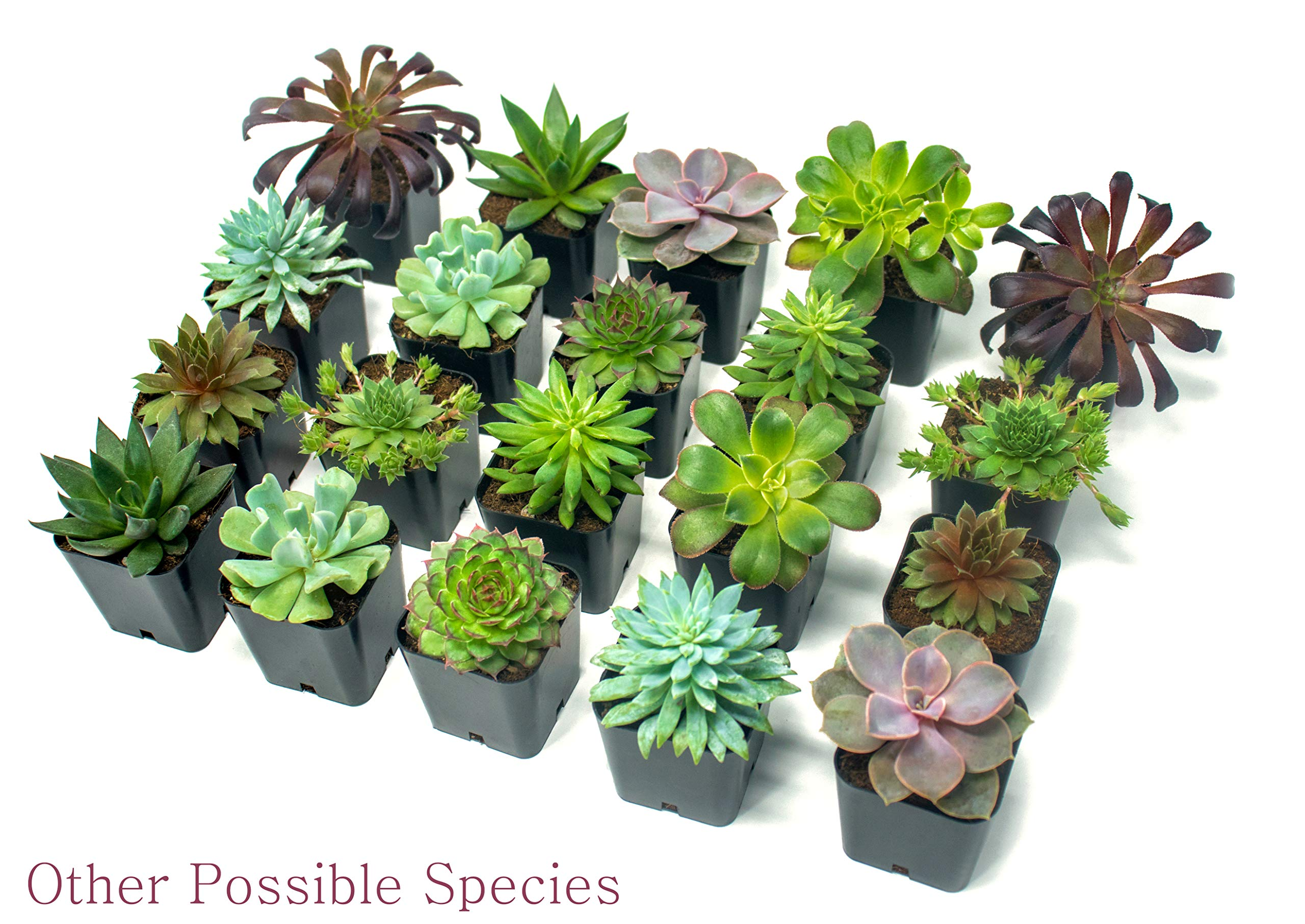 Succulent Plants (5 Pack), Fully Rooted in Planter Pots with Soil -  Real Live Potted Succulents / Unique Indoor Cactus Decor by Plants for Pets 5 HAND SELECTED: Every pack of succulents we send is hand-picked. You will receive a unique collection of species that are FULLY ROOTED IN 2 INCH POTS, which will be similar to the product photos (see photo 2 for scale). Note that we rotate our nursery stock often, so the exact species we send changes every week. THE EASIEST HOUSE PLANTS: More appealing than artificial plastic or fake faux plants, and care is a cinch. If you think you can't keep houseplants alive, you're wrong; our succulents don't require fertilizer and can be planted in a decorative pot of your choice within seconds. DIY HOME DECOR: The possibilities are only limited by your imagination; display them in a plant holder, a wall mount, a geometric glass vase, or even in a live wreath. Because of their amazingly low care requirements, they can even make the perfect desk centerpiece for your office.