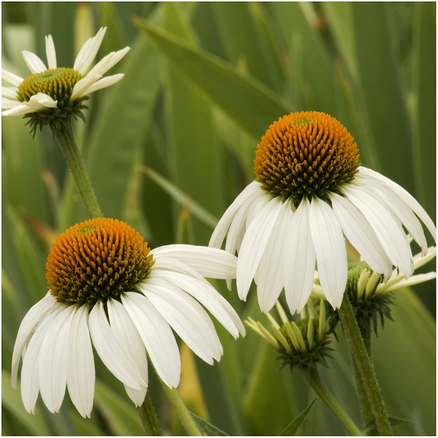 Amazon Package Of 100 Seeds White Swan Coneflower Echinacea