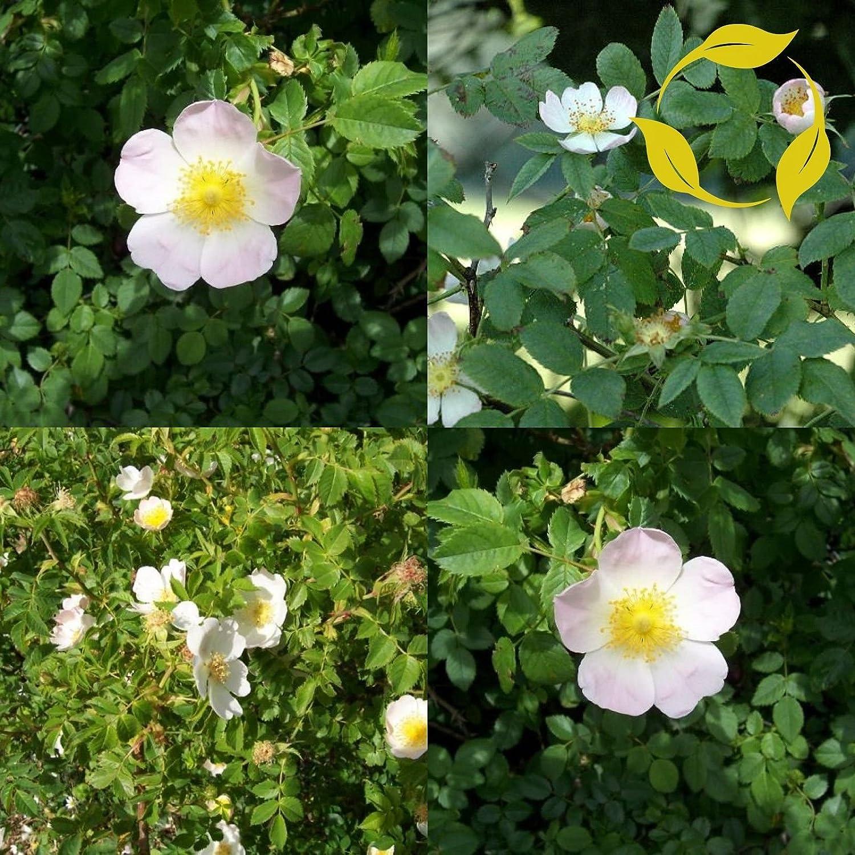 Seeds 50 PlenTree Dog Rose Rosa Canina