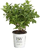 Limelight Hardy Hydrangea (Paniculata) Live Shrub, Green to Pink Flowers, 4.5 in. Quart