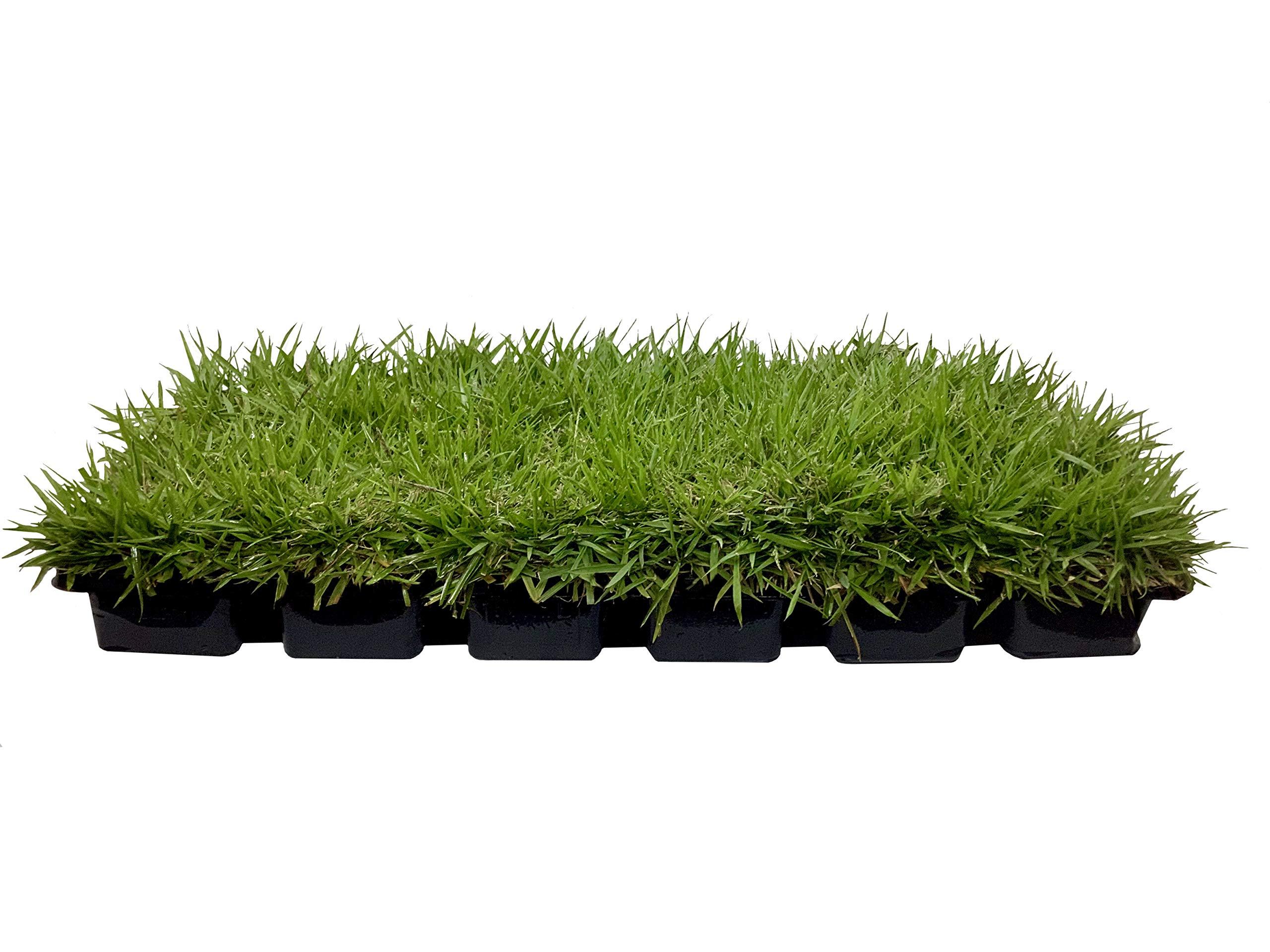 Zoysia Sod Plugs - Large 3'' x 3'' Plugs - 18 Count Tray - Drought, Salt & Shade Tolerant Turf Grass