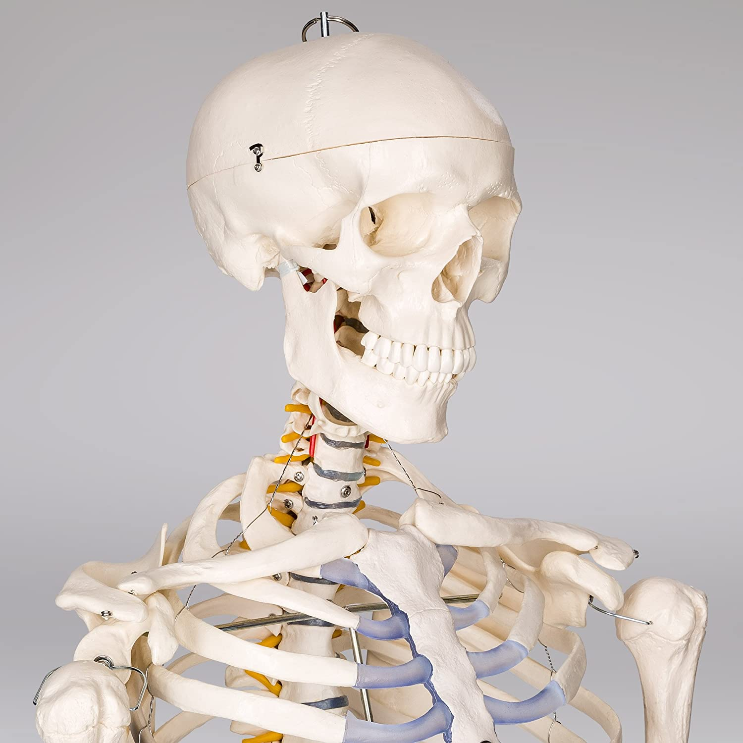 Tectake Human Skeleton Anatomical Model Life Size Different Models