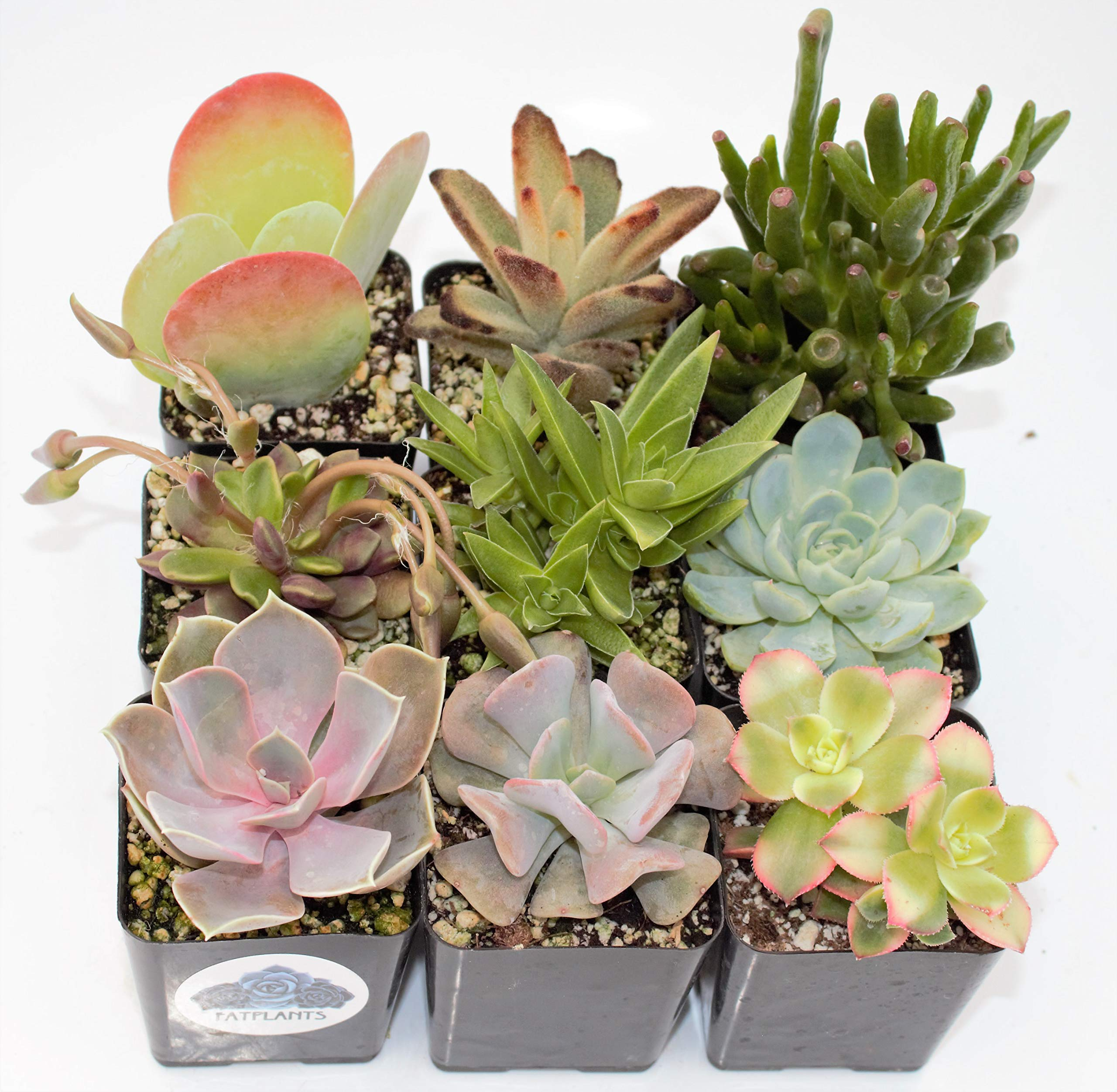 Fat Plants San Diego Premium Succulent Plant Variety Package. Live Indoor Succulents Rooted in Soil in a Plastic Growers Pot (9)