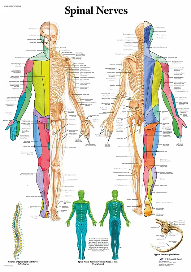 Educational Anatomy Spinal Nerves College University Poster A0 Size