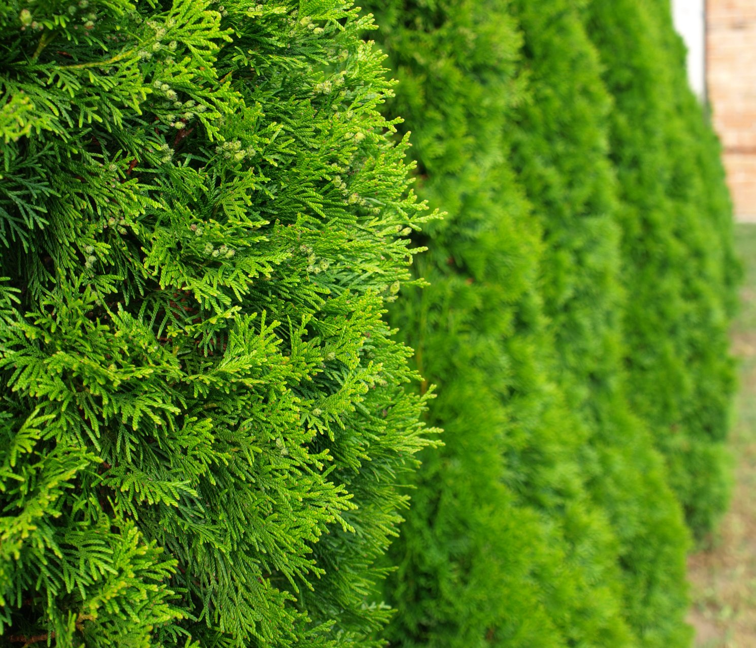 Thuja Smaragd Lebensbaum im Container 125 150cm Amazon Garten